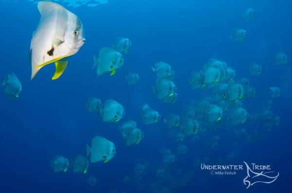 Batfish in Raja Ampat